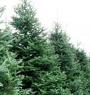 Living_Christmas-Tree_6